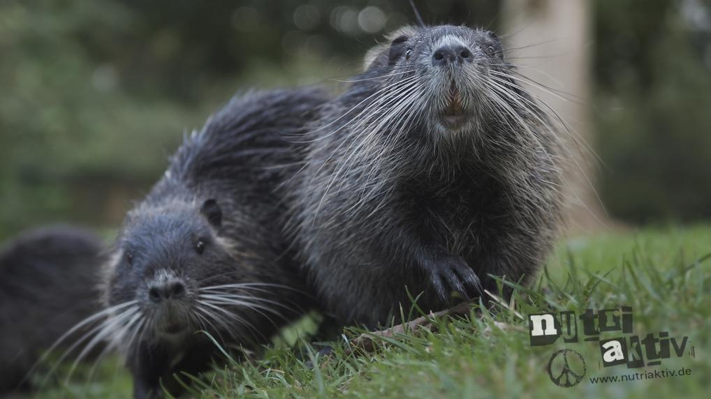 IGA Liste Europäische Union Invasive Gebietsfremde Arten bedroht Nutria. Nutriaktiv verlangt Memorandum
