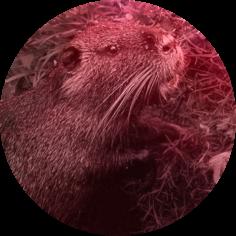 Nutria durch IGA - invasive gebietsfremede Arten - Richtlinie der Europäischen Union von Ausrottung bedroht